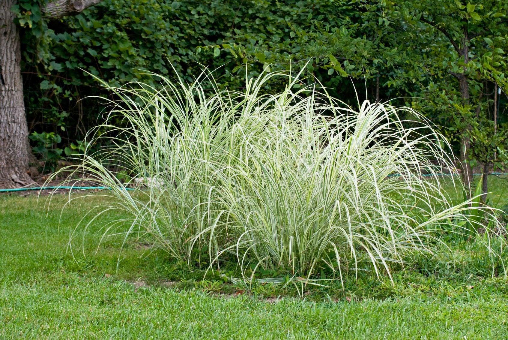 Sedge Plant Care How To Grow Native Sedge Plants
