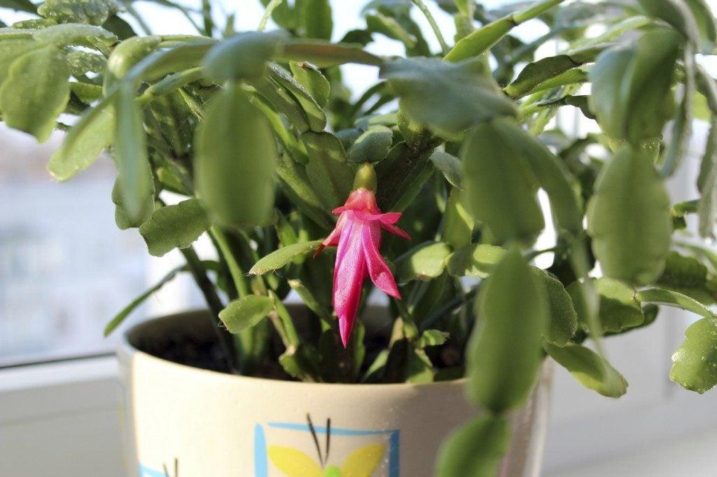 Fine pink flower of Schlumbergera