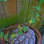 tortoise plant