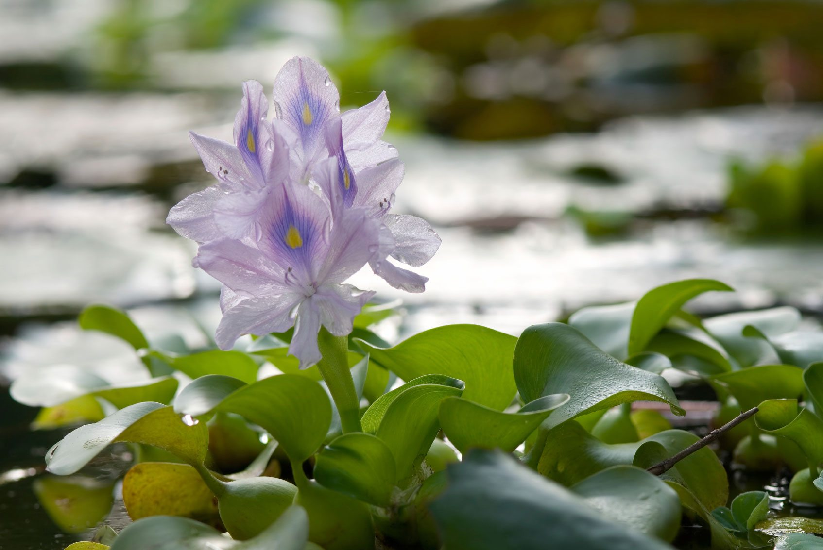 Water Hyacinth Care – How To Grow Water Hyacinth Plants