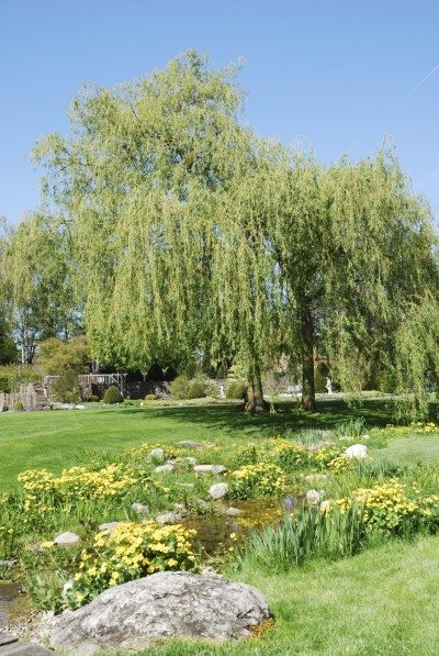 Types Of Weeping Trees Common For Landscaping