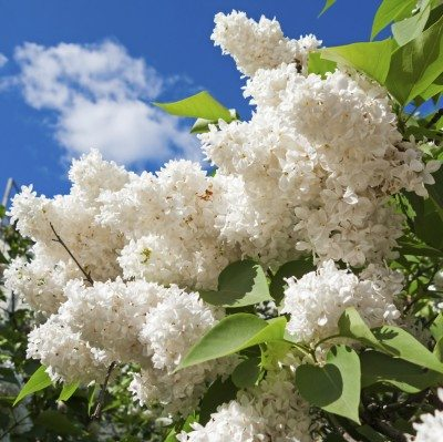 Lilac Plant Types Learn About Different Varieties Of Lilac