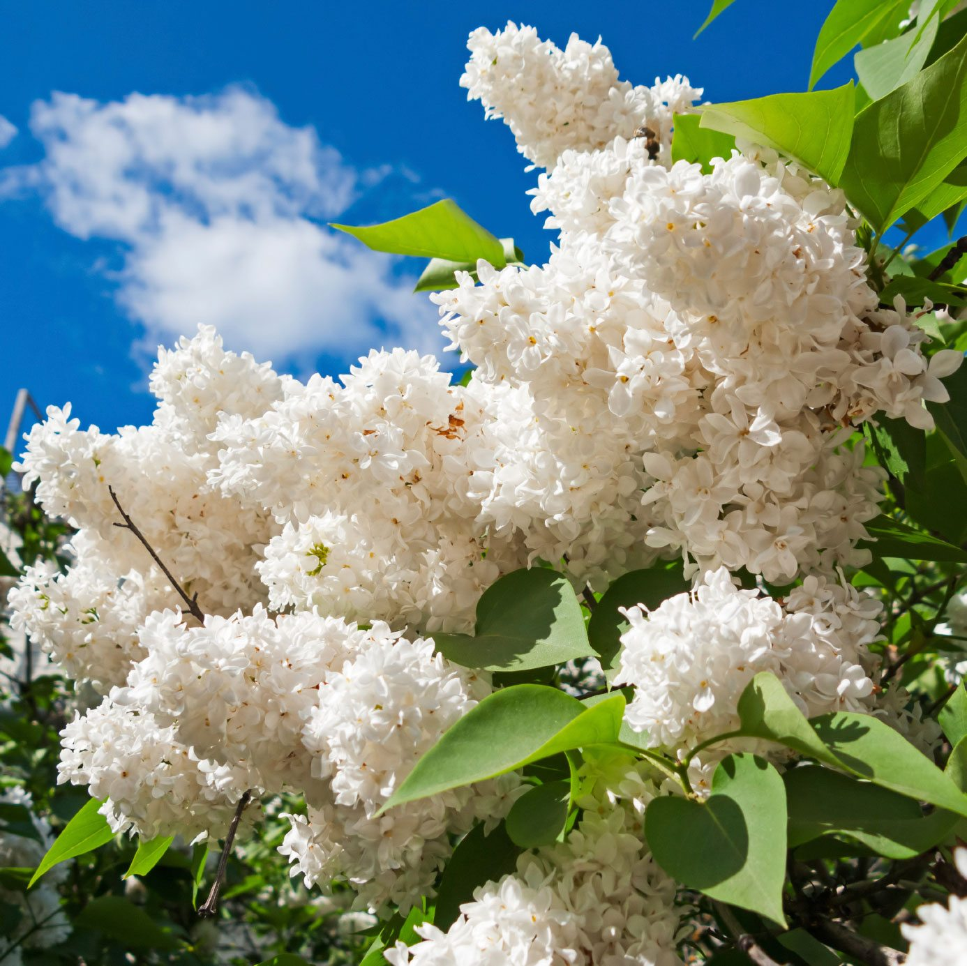 Lilac Plant Types – Learn About Different Varieties Of Lilac