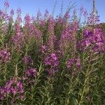 Rosebay willowherb, Epilobium angustifolium
