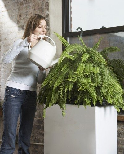 Boston fern irrigation how often to water boston ferns - How often to water vegetable garden ...
