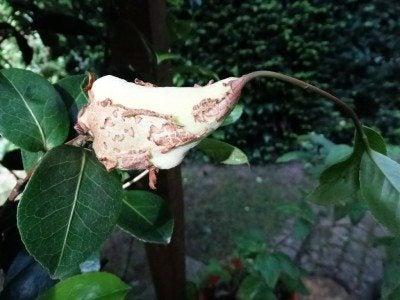 camellia gall