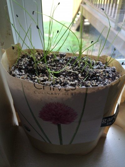 Chive Seed Propagation How To Grow Chives From Seed