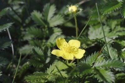 cinquefoil weed