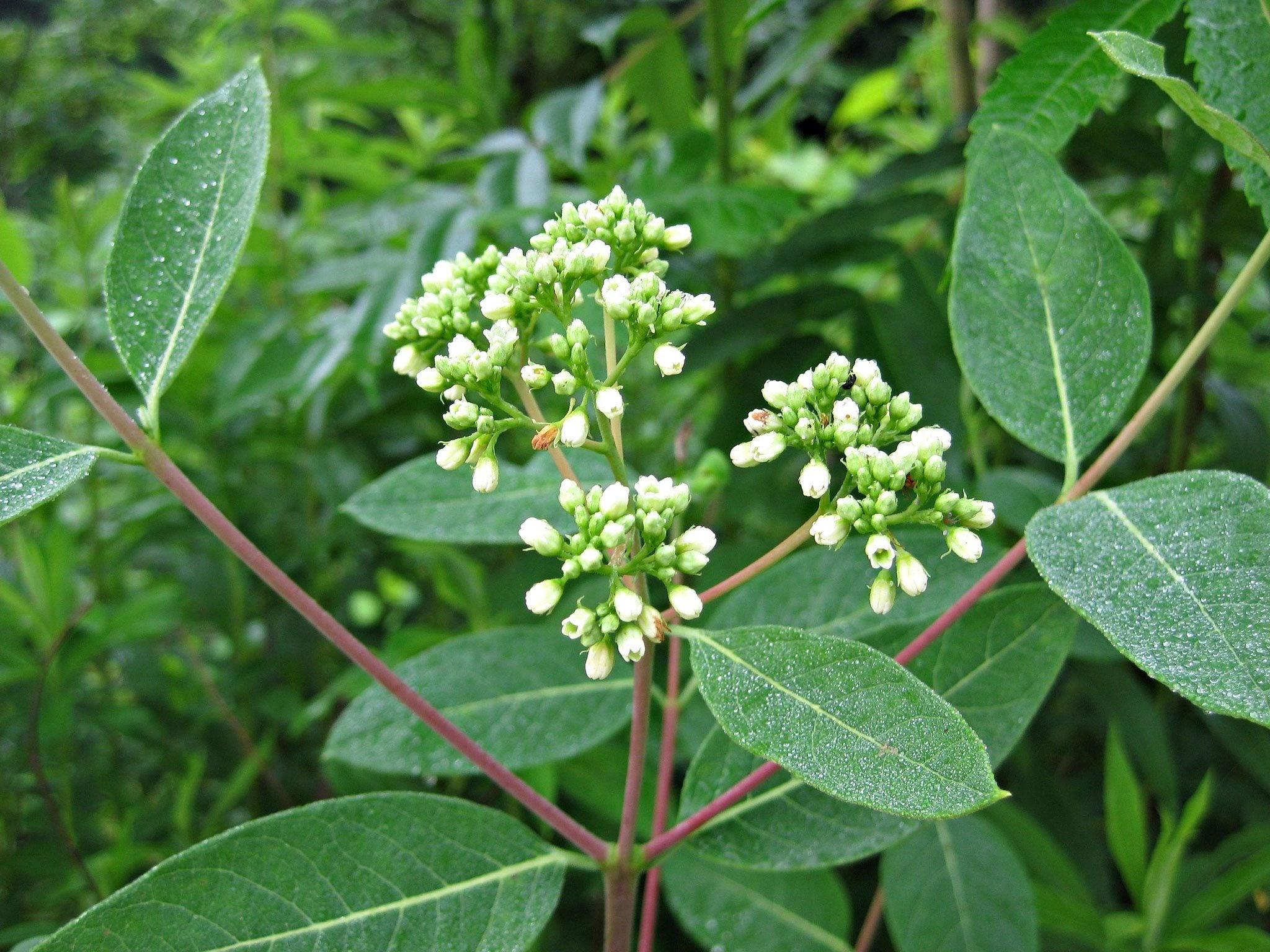 dogbane control � tips on getting rid of hemp dogbane weeds