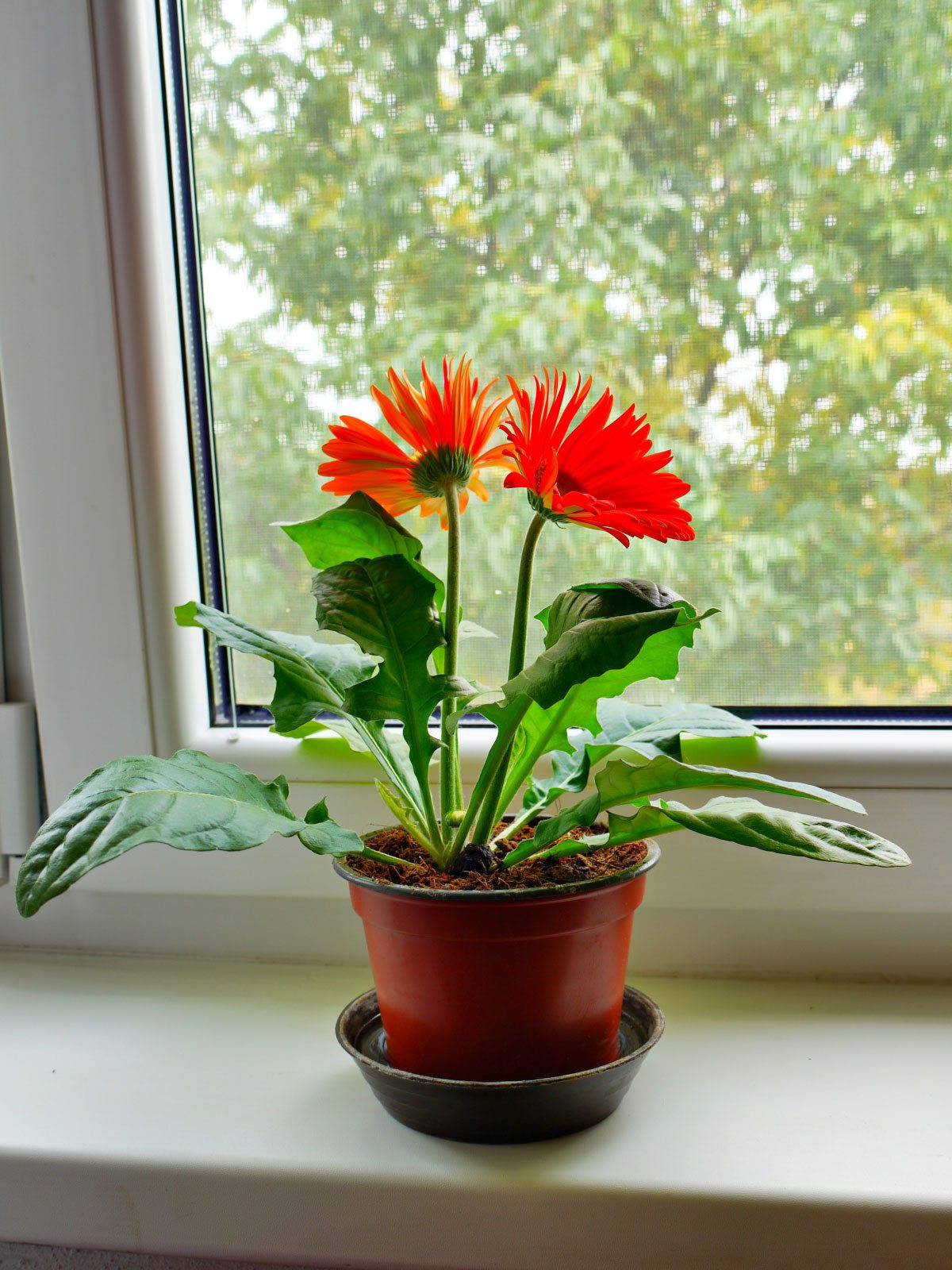 Gerbera care indoors how to grow gerbera daisy plants inside izmirmasajfo
