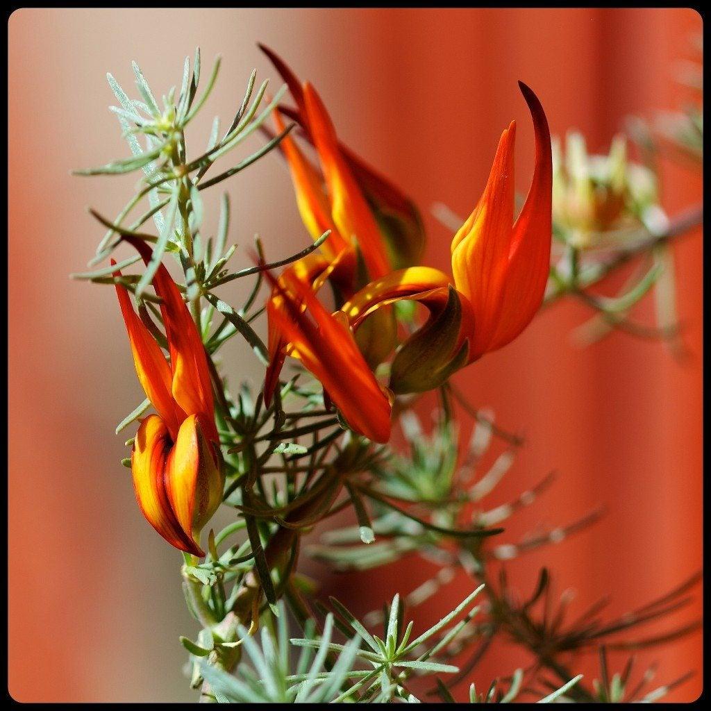 lotus vine