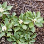 Pachysandra ground cover blooming in Springtime