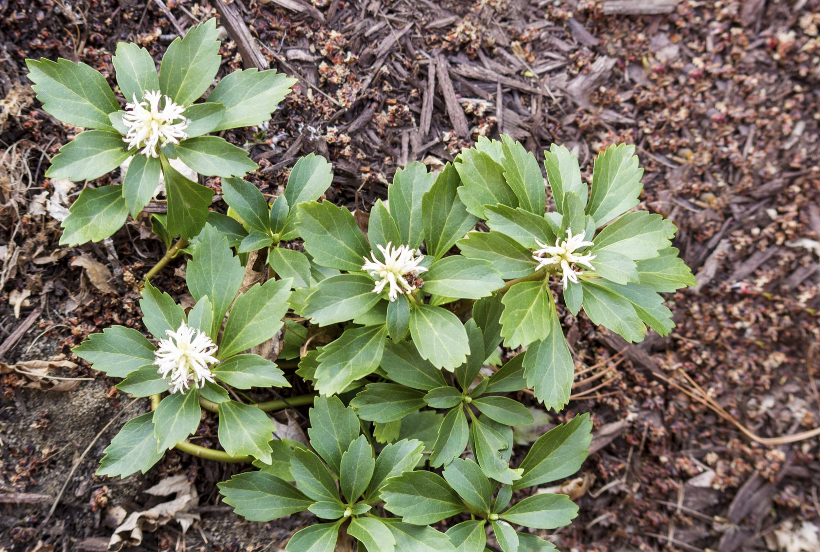 Pachysandra removal tips how to get rid of pachysandra for Ornamental grasses that stay green all year