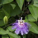 Passionflower and Fruit