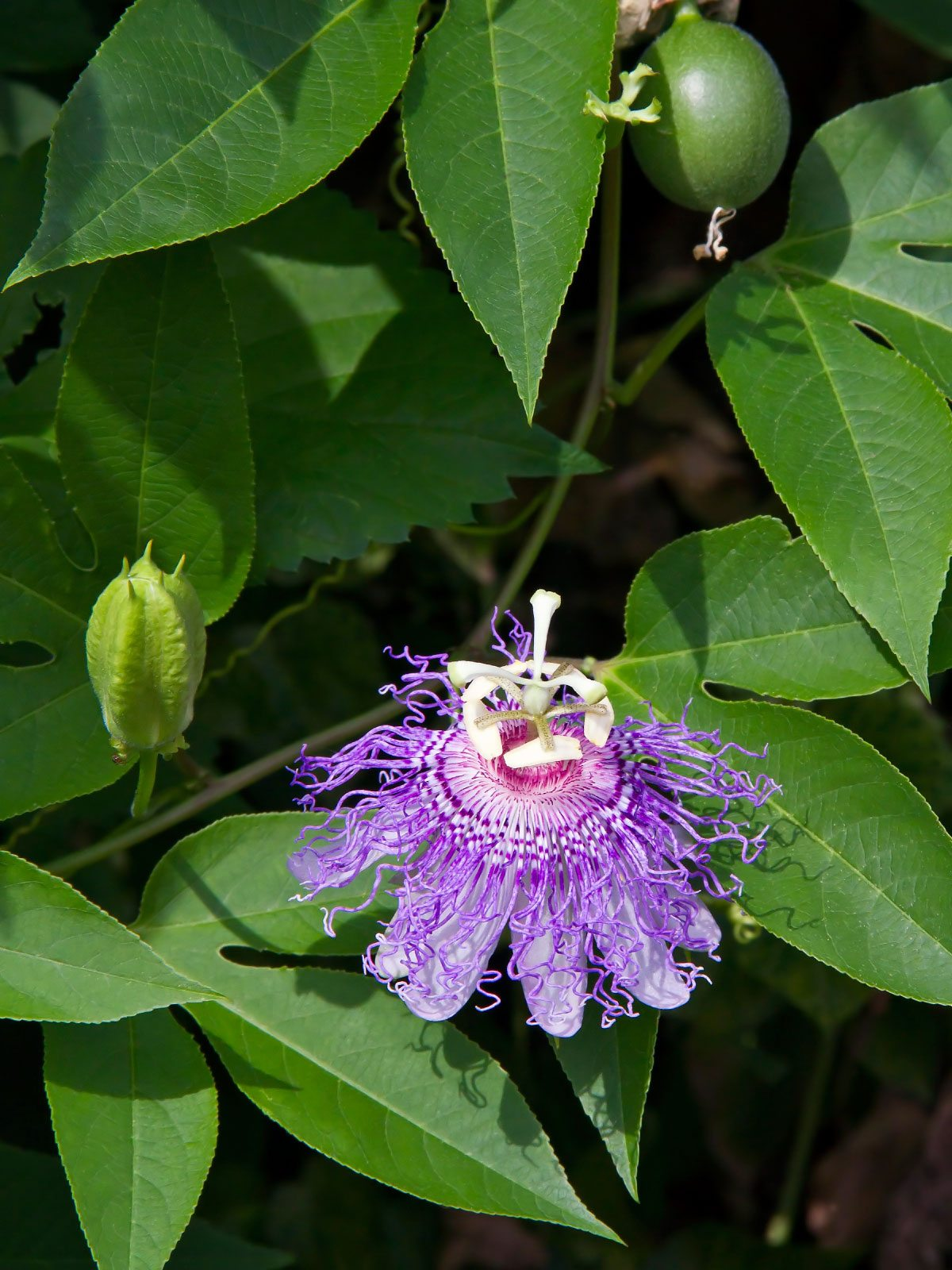No Fruit On Passion Vine How To Get Passion Flower Vine To Produce