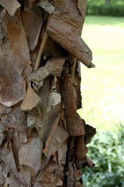 peeling dogwood bark