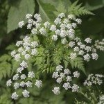 Inflorescence of a herb of Hemlock or Poison Hemlock (Conium mac