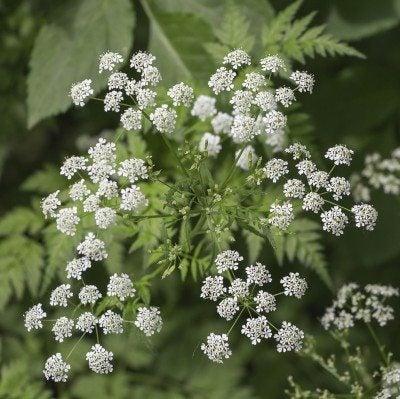 Inflorescence of a herb of Hemlock or Poison Hemlock (Conium mac
