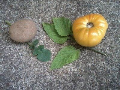 potato-leaf tomato