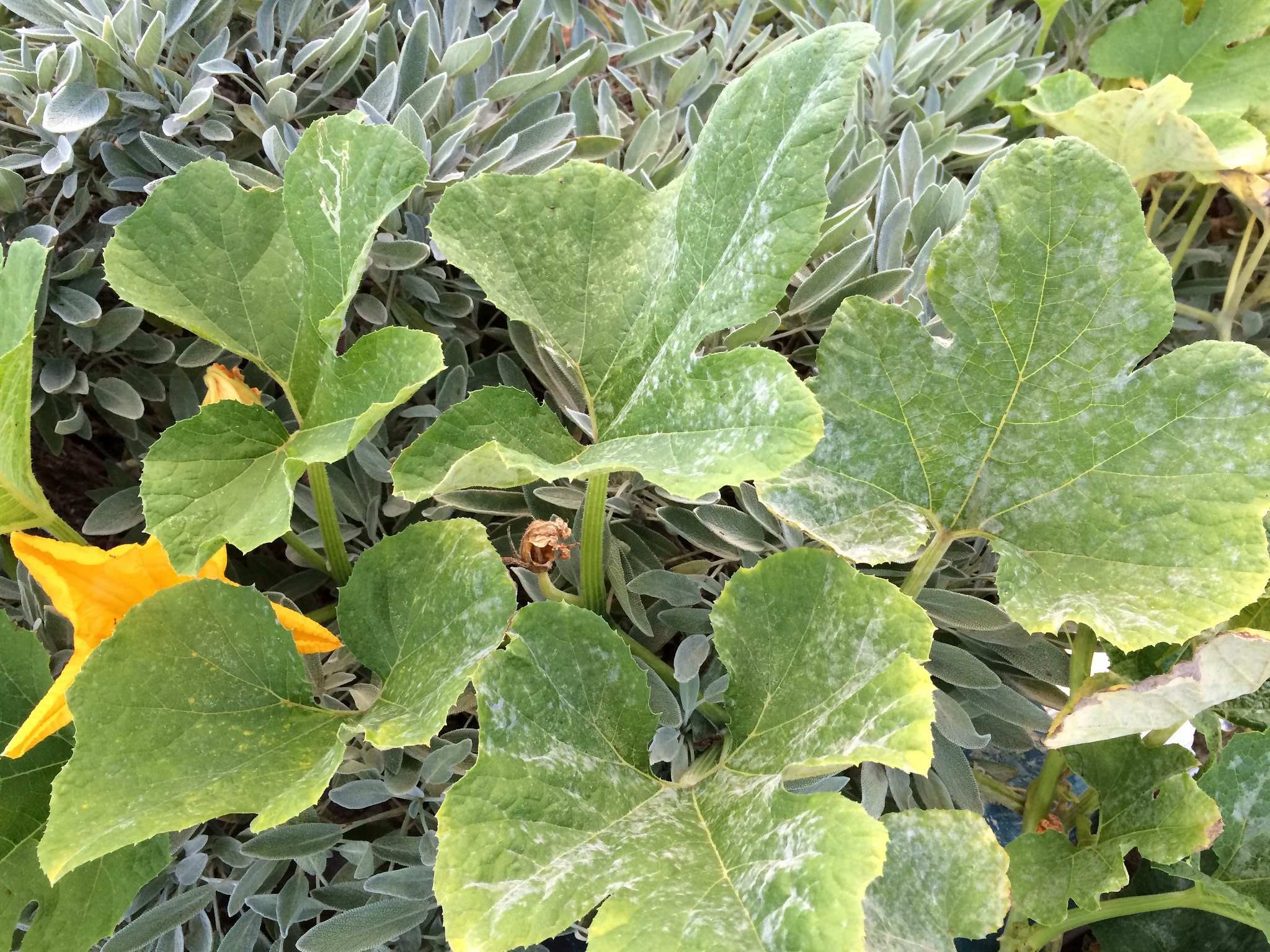 how to get rid of powdery mildew on squash
