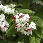 Clerodendrum thomsoniae flowers, closeup
