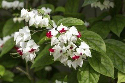 Clerodendrum thomsoniae flowers, closeup