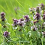 deadnettle weed