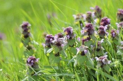 What is purple deadnettle learn about deadnettle weed management purple deadnettle control getting rid of deadnettle weeds mightylinksfo