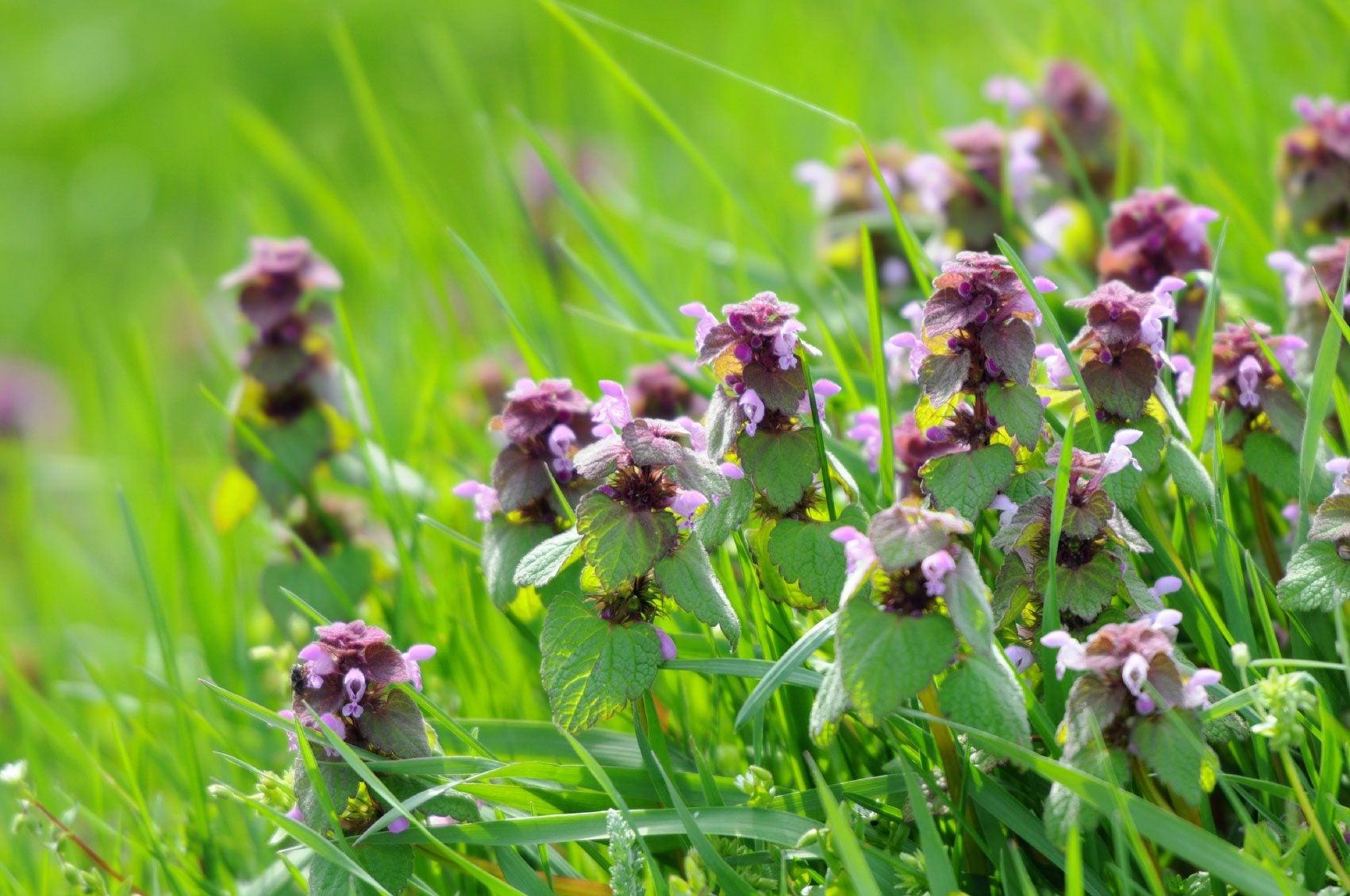 what is purple deadnettle � learn about deadnettle weed