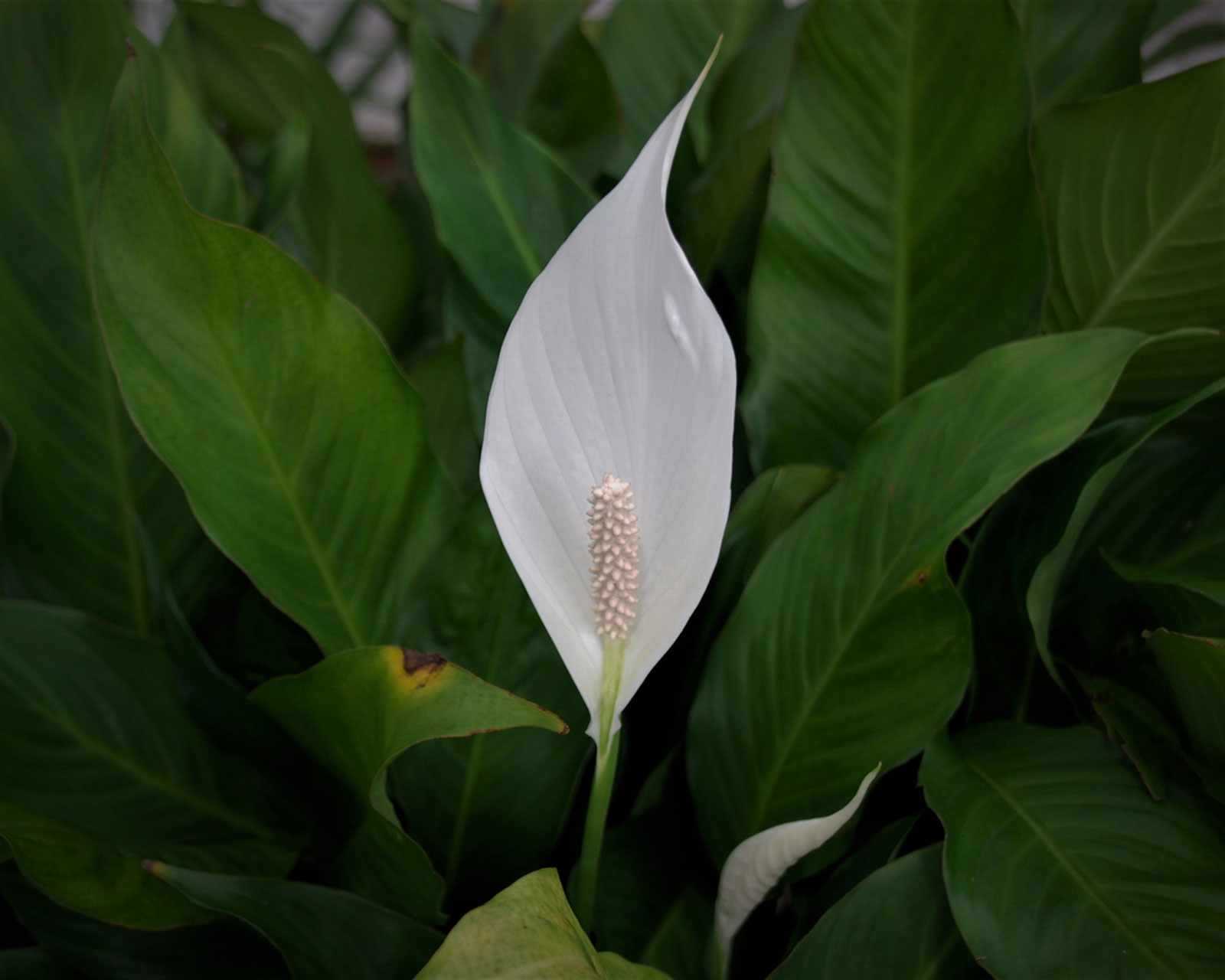 My Peace Lily Won T Flower How To Get