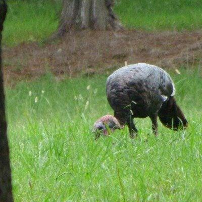 Wild Turkey Control Managing Pests In Gardens