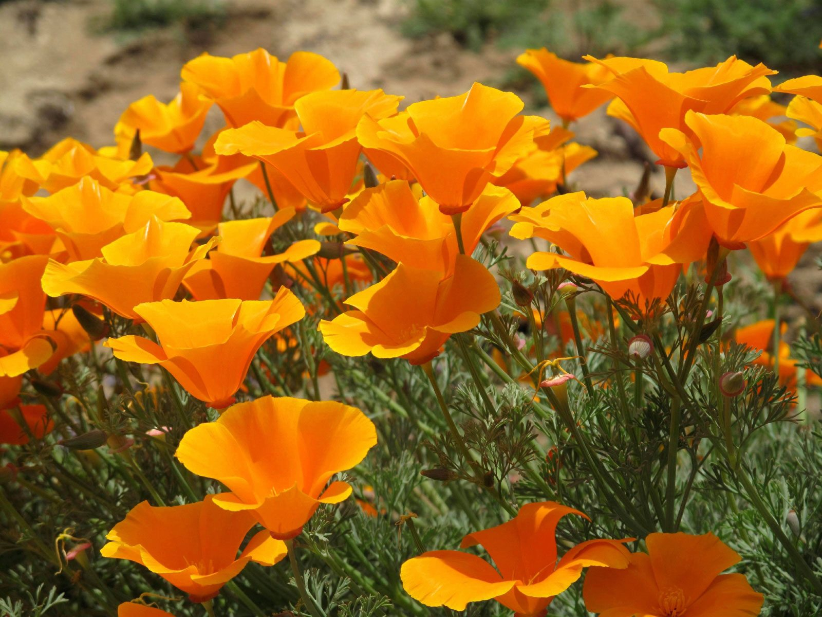 california poppy info learn about growing california poppies. Black Bedroom Furniture Sets. Home Design Ideas