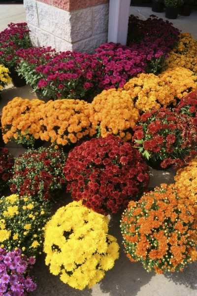 fertilizing mums tips for feed mum plants - Garden Mum
