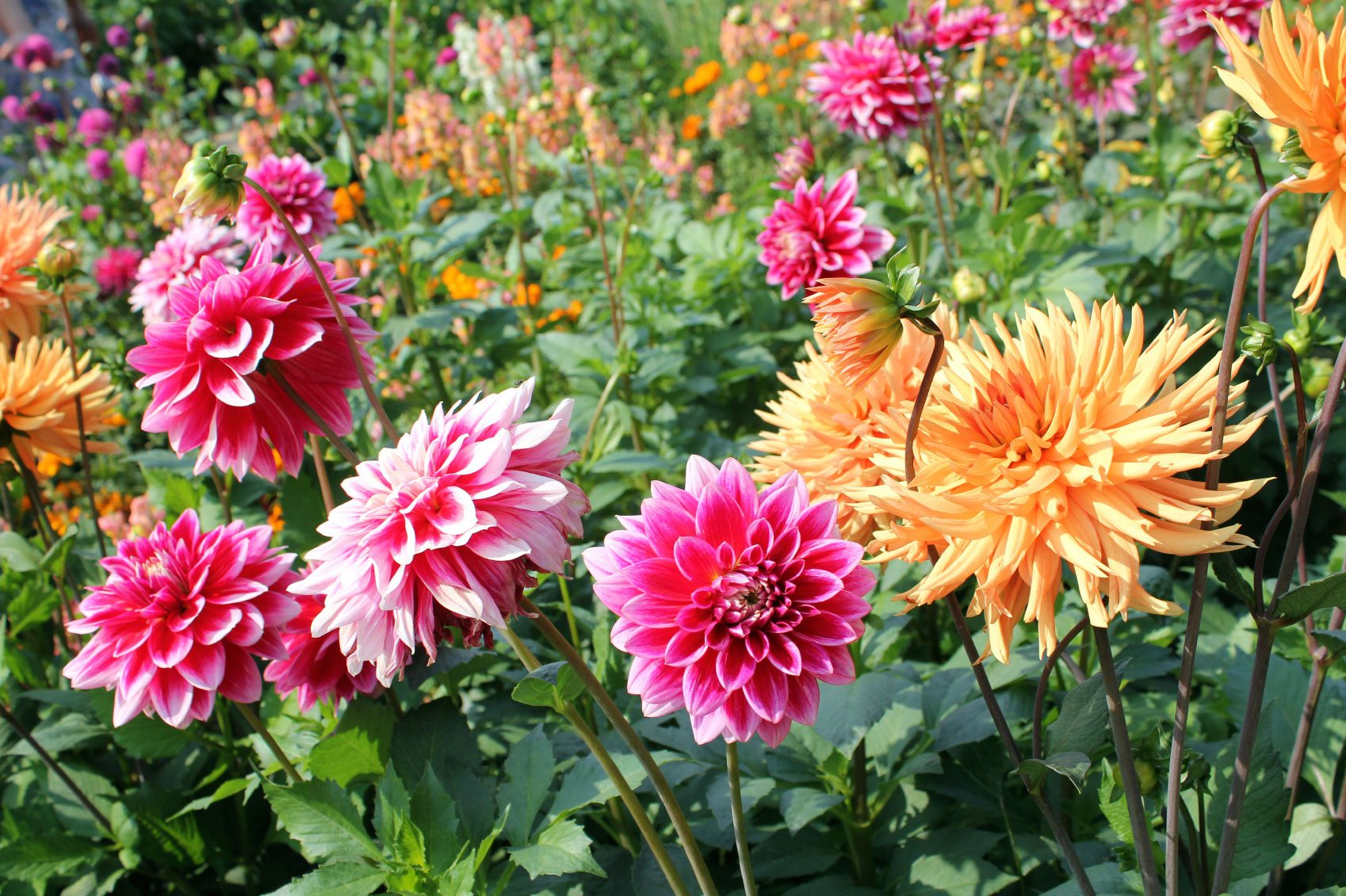 Dahlia growing tips caring for dahlia plants in the garden for Easy to care for outdoor flowering plants
