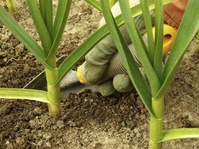 hand caring garlic