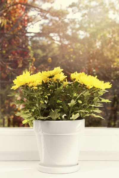 How To Grow Mums Indoors