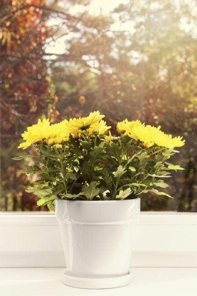 indoor mum care growing chrysanthemums indoors - Garden Mum Indoor