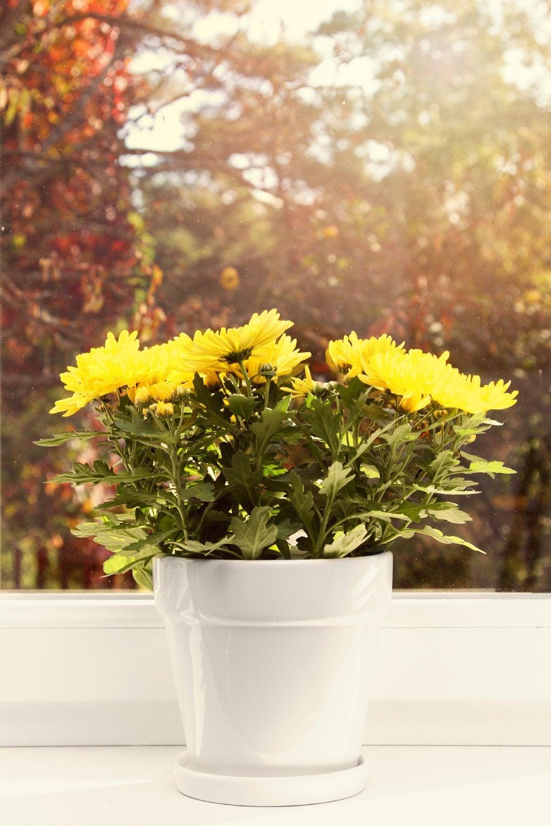 Chrysanthemum houseplants how to grow mums indoors for Indoor gardening flowers