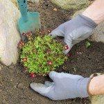 Einpflanzen Moossteinbrech - planting a saxifraga bryoides 06