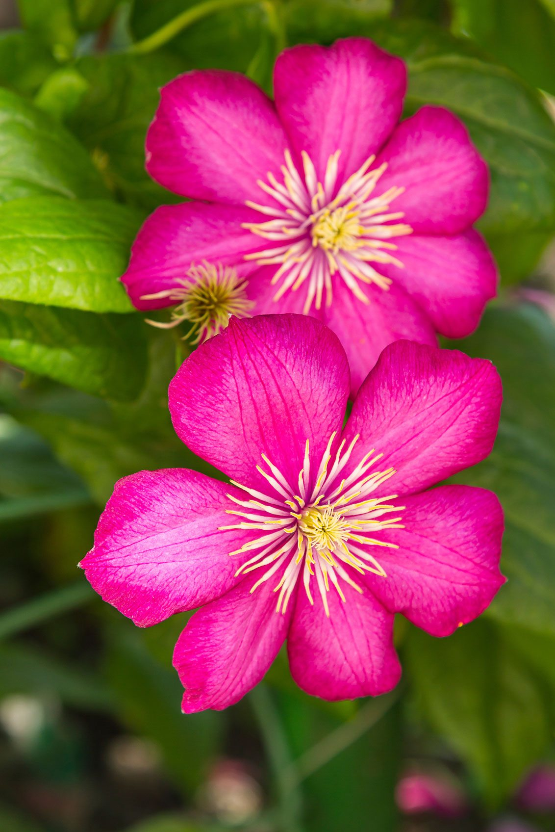 Clematis Flowers For Summer Learn About Summer Flowering Clematis Varieties