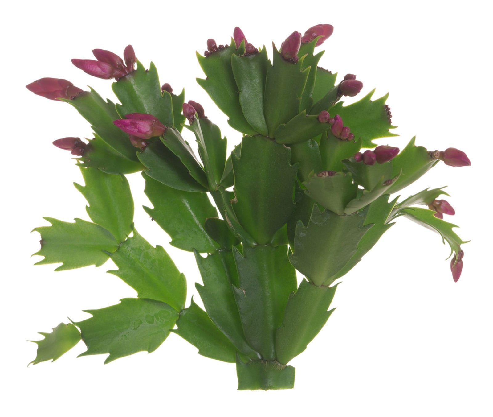 Thanksgiving Cactus Information Learn About Thanksgiving Cactus Plant Care