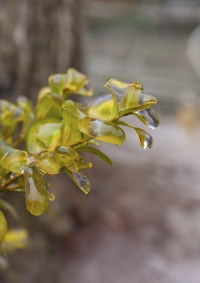 Plant Branch Covered with Ice