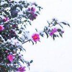 camellia cold