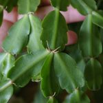 christmas-cactus-arial-roots