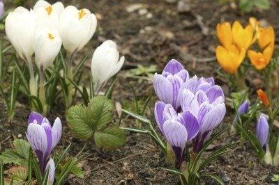Crocus flowers various colored