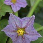 Flower of Brinjal, Eggplant, Solanum melongeana L