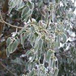 eucalyptus cold