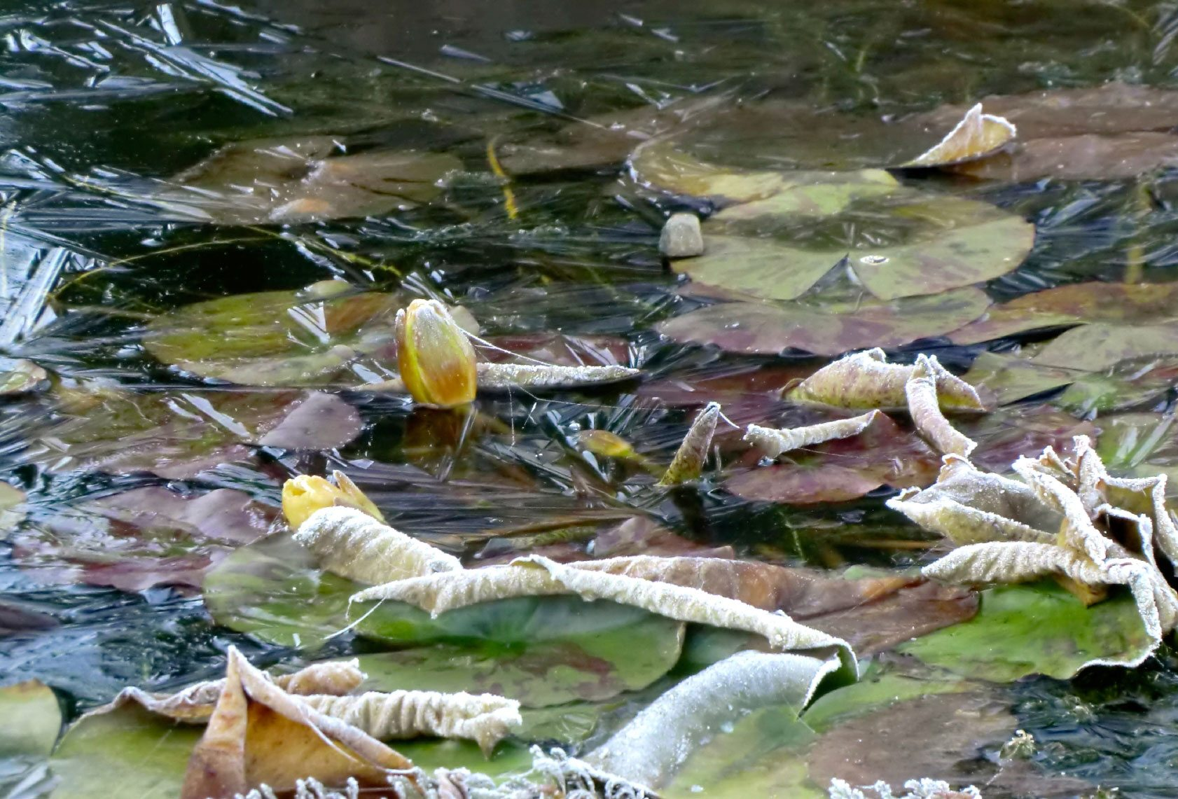 Overwintering pond plants what to do with pond plants in for Pond plants that survive winter