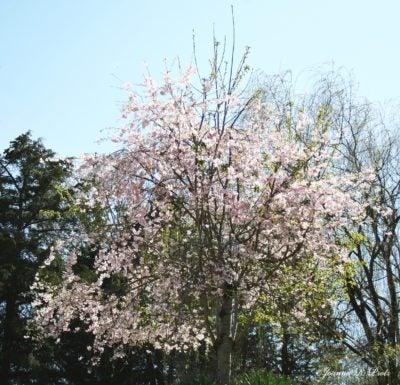 Cherry Tree Not Weeping Help My No Longer Weeps