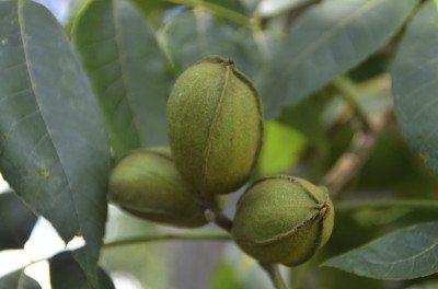 Pecan Tree Juglone Info Are Pecan Trees Toxic To Other Plants